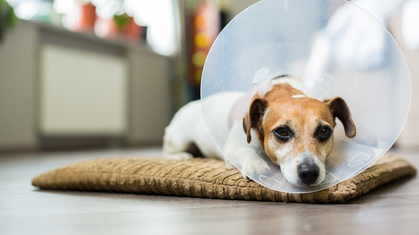 Dog wearing cone and laying on the floor