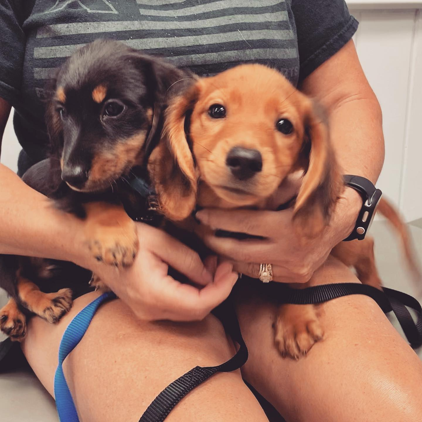 Two puppies in someone's lap