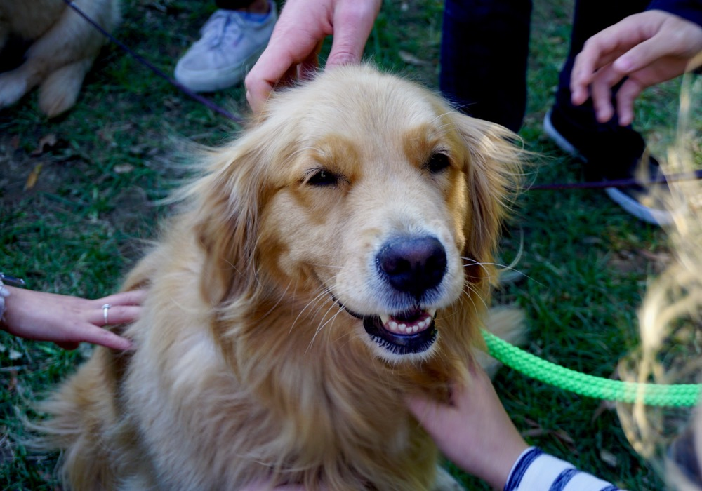 Golden Retriever being pet by many hands