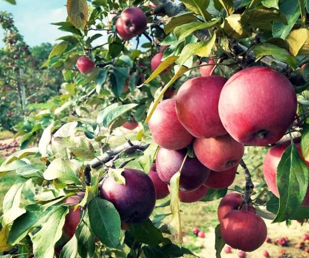 Branch of Apples.