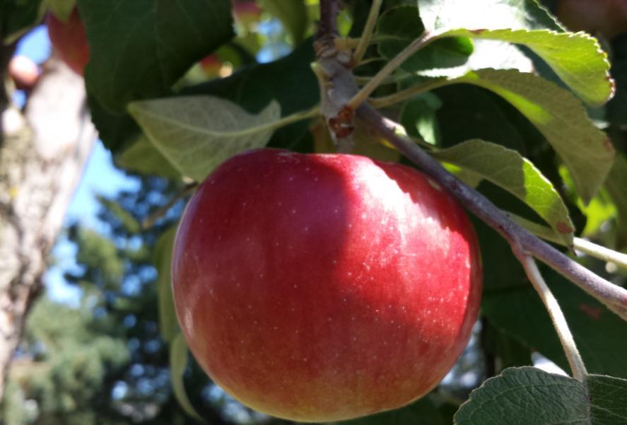 Single apple on a branch.