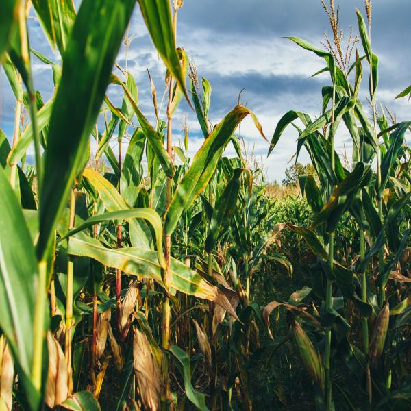 Picture of corn in a corn field.