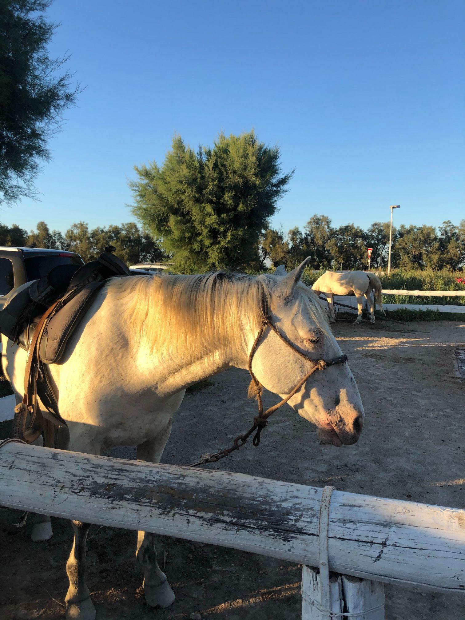 Horse head sunset camargue france