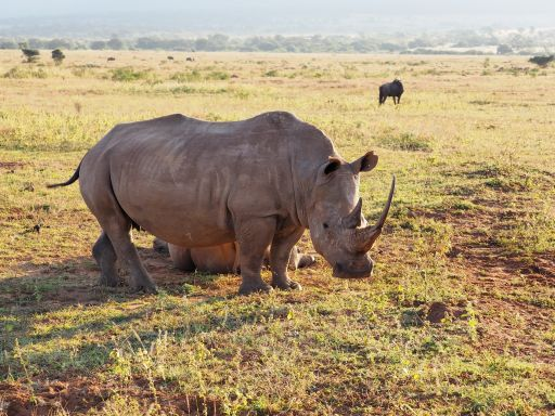 Southern white rhino in South Africa