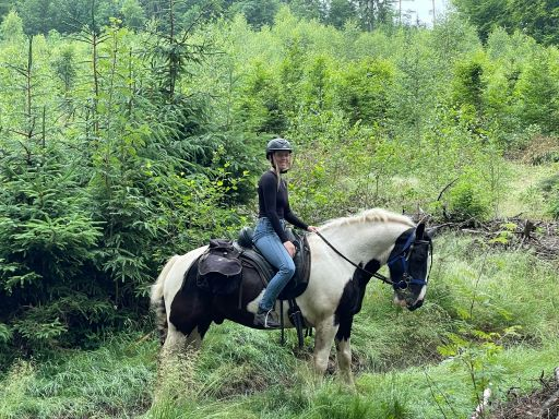 Tinker irish cob horse in the forest in poland on a horse riding trek