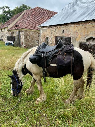 Tinker irish cob horse grazing in poland