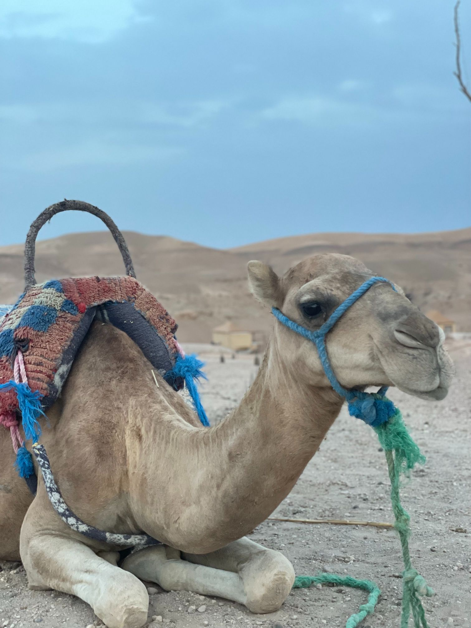 camel laying down in the desert morocco agafay