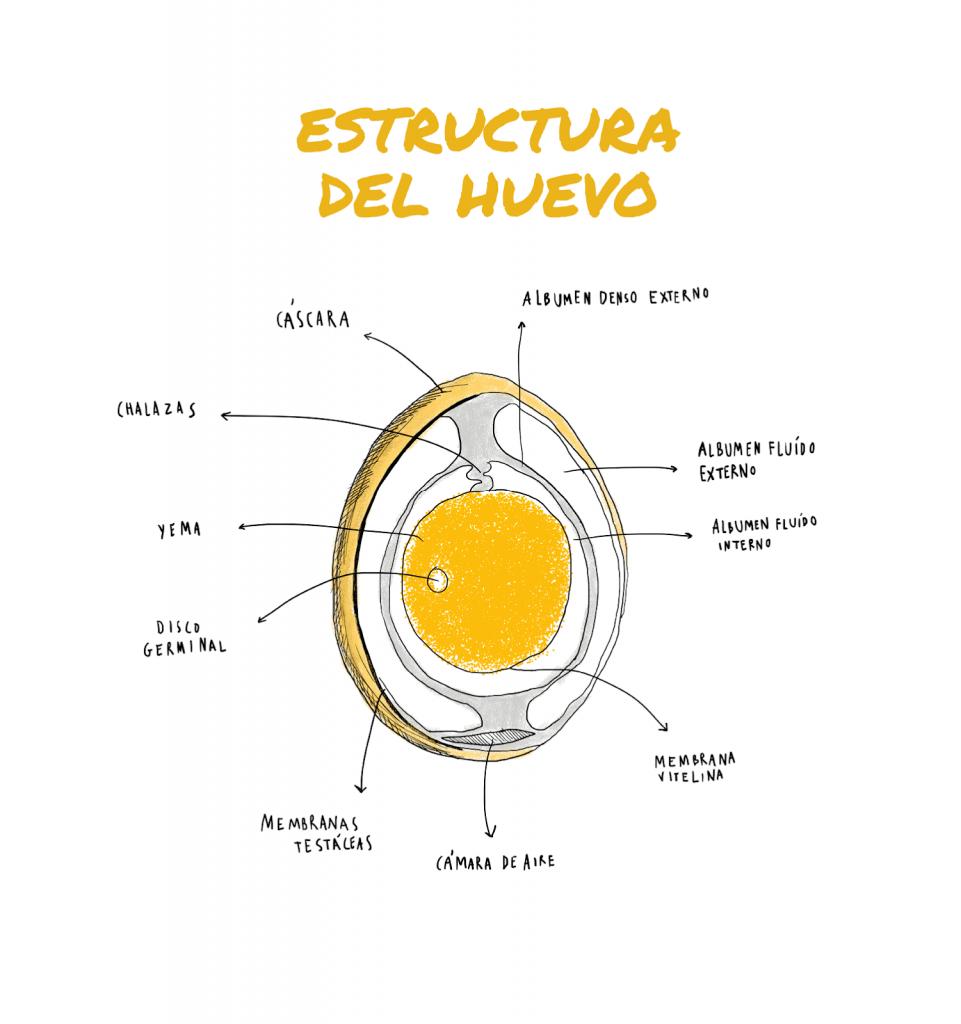 Estructura de los huevos de gallina
