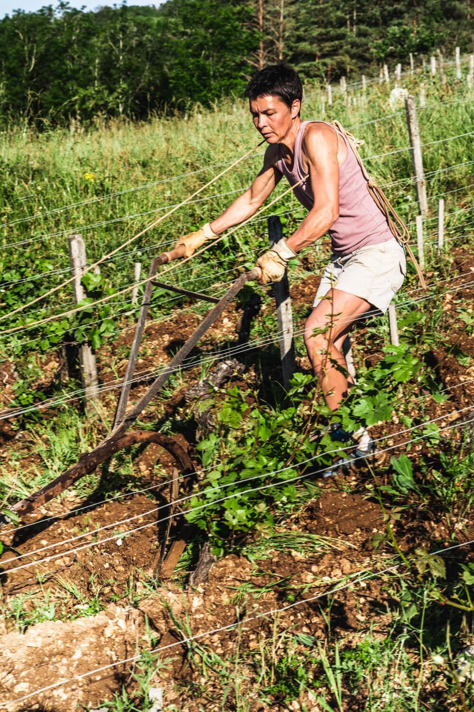Organic wine grower ploughing vines