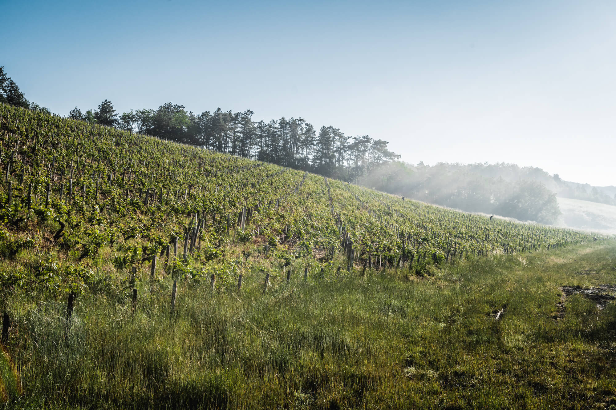 View of vineyard in Chablis
