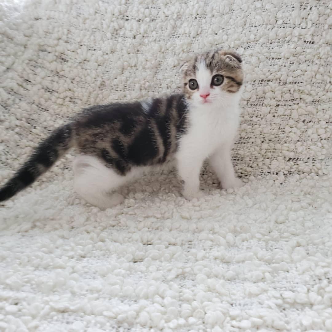 Scottish Fold Munchkin Kitten For Sale