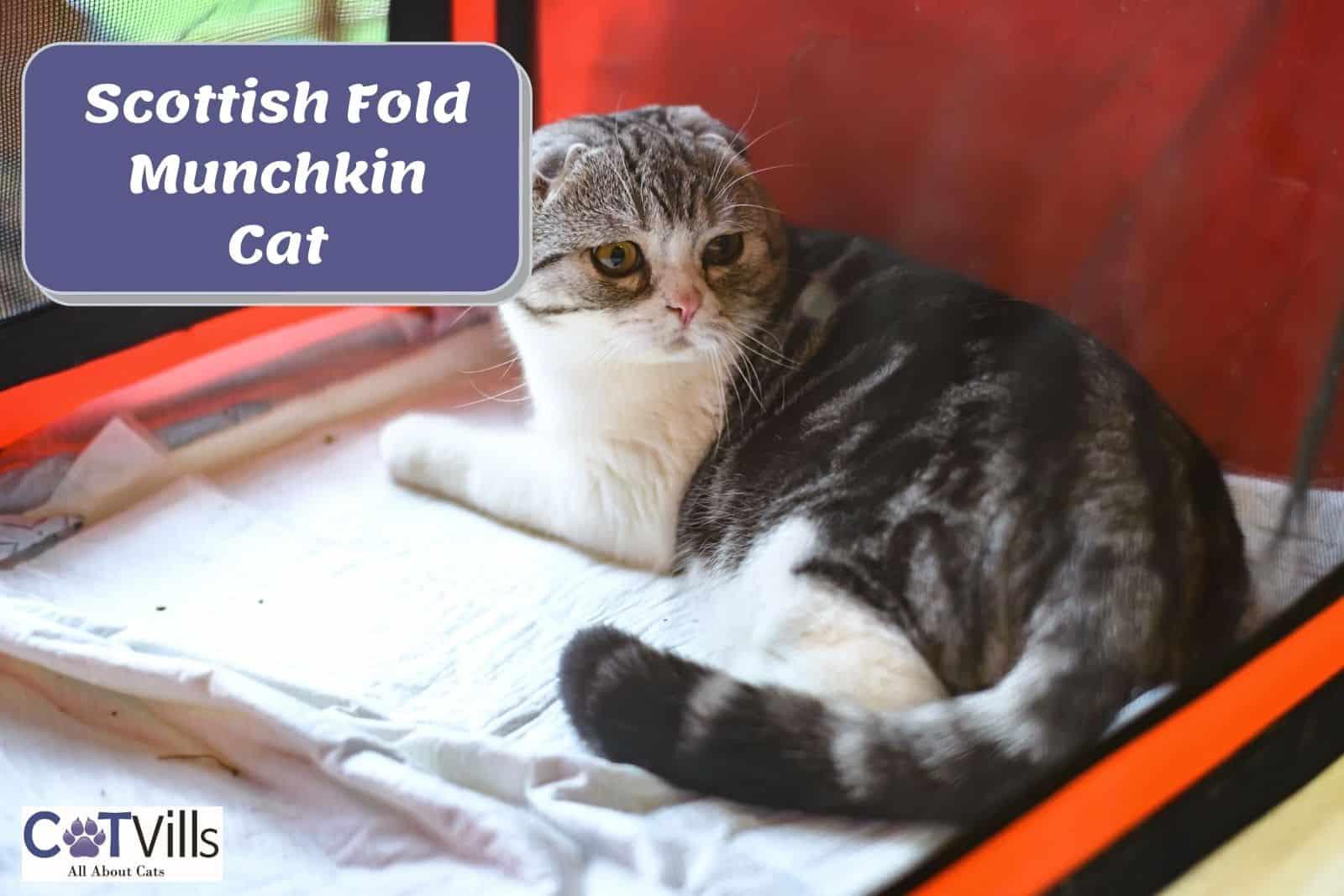 munchkin cat breeders
