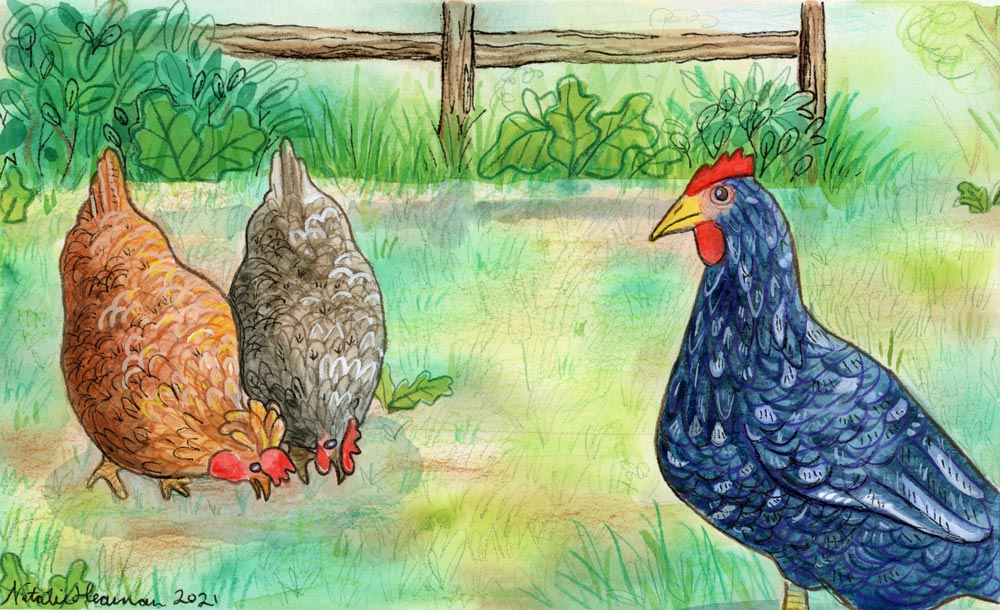 Illustration of three chickens. Two are pecking at the ground and one looks at the viewer.