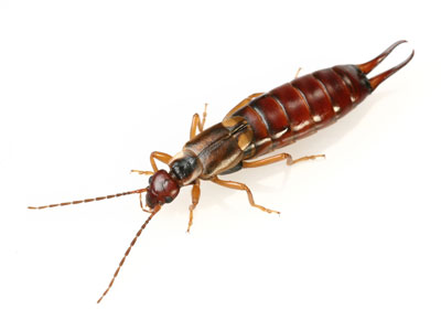 Common Earwigs in Southern California That Harper Pest Control Can Control.