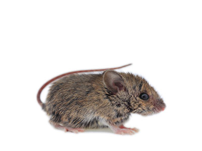Common Rats in Southern California That Harper Pest Control Can Control.