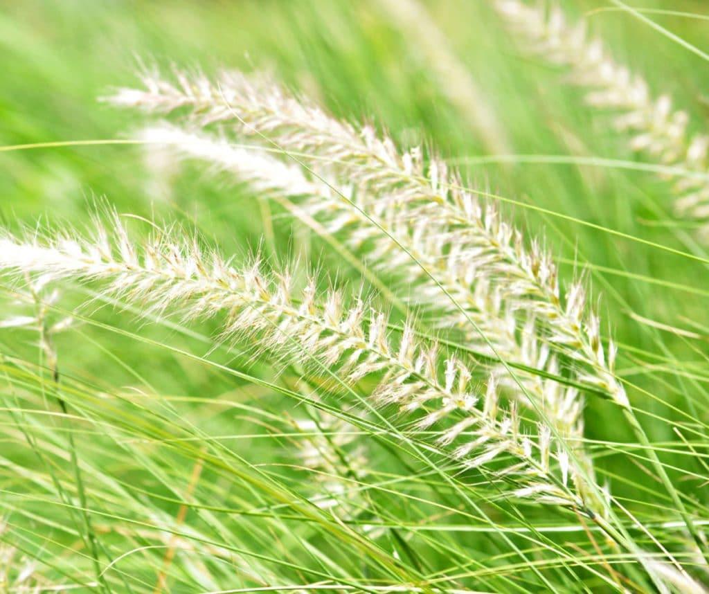 White fountain grass in the sunshine