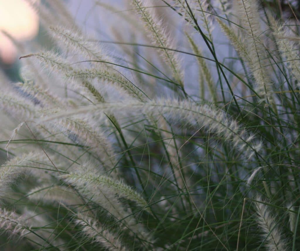 White grass at dusk