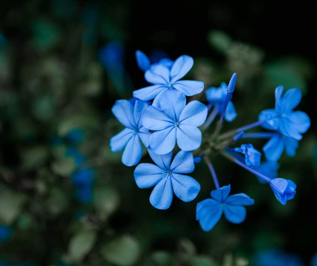 Blue daze petals in the early evening