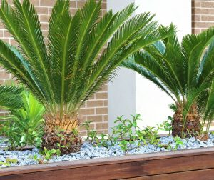 Ferns growing in a raised plant bed