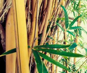 Alphonse Karr Bamboo standing in the yard