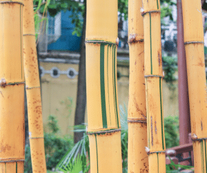 More Alphonse Karr Bamboo standing in the yard