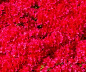 Bright red Azaleas in Gainesville landscape design