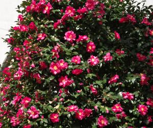 bright pink shi shi camellia flowers in dark green foliage in gainesville florida landscape