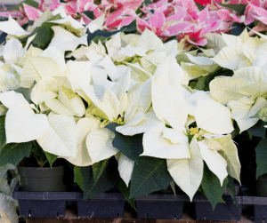 white poinsettias in a pot with pink poinsettias behind in gainesville landscape nursery