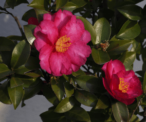 close up of a two bright pink blooms with yellow stamens and green foliage in professional landscape