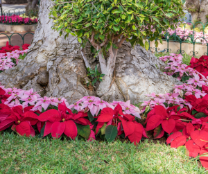 pink and red poinsettias circling a large tree trunk in professional landscape design.
