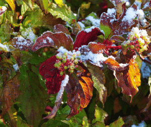 green and red leaves and small berries with frost