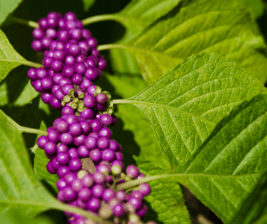 Beautyberry purple berries with lush green leaves in landscaping design