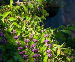 Purple beautyberries in green leaves