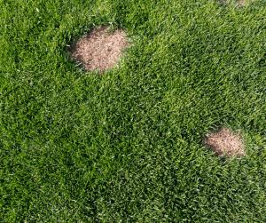 Brown patches in green grass in gainesville landscape design