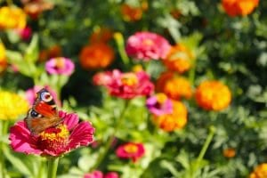 Butterfly on zinnia in Gainesville landscaping