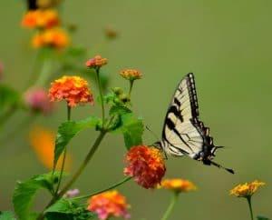 Butterfly on lantana in Gainesville butterfly garden