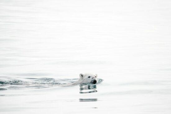 Een ijsbeer in het water