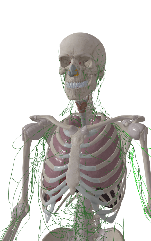 AR Model of the human skeletal system