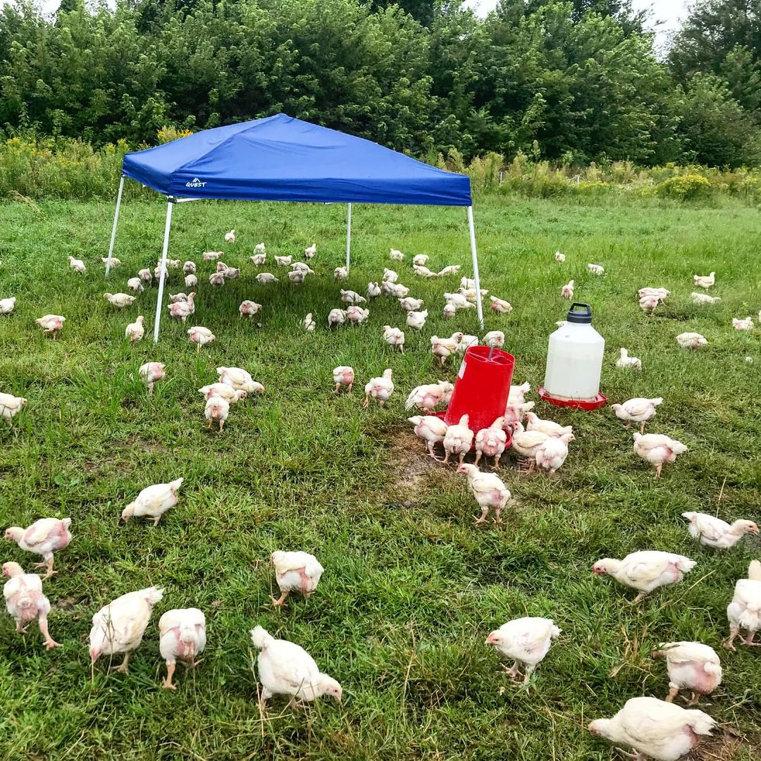 Chickens free roaming in pasture