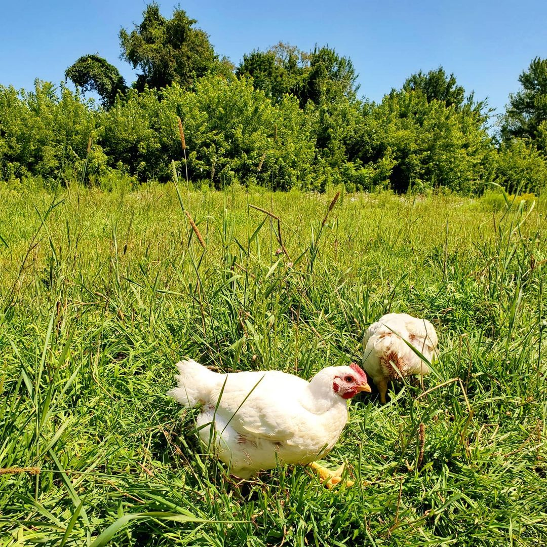 Two chickens hiding in the grass