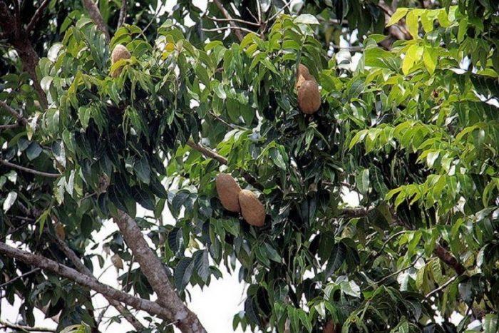 lá và quả cây gỗ gụ