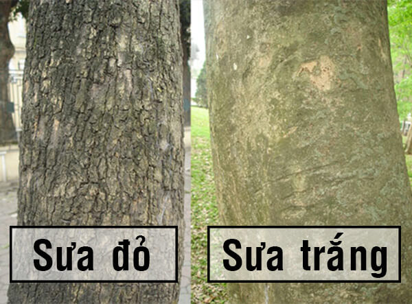 Phân biệt gỗ sưa đỏ và gỗ sưa trắng qua thân cây. Ảnh sưu tầm