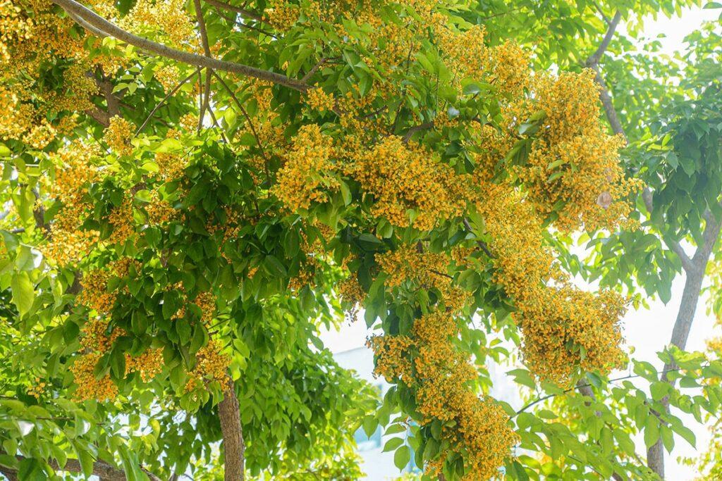 Cây sưa vàng thường được trồng làm cây bóng mát hoặc làm cảnh. (Ảnh sưu tầm)